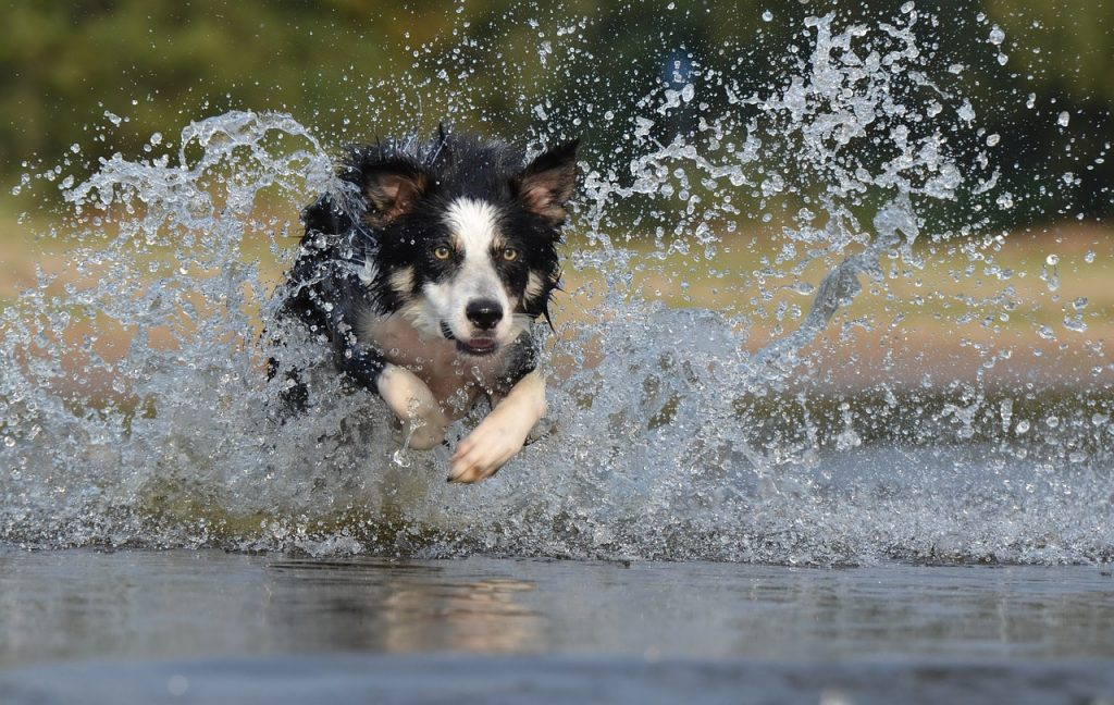 Border Collie Exercise Water Routine
