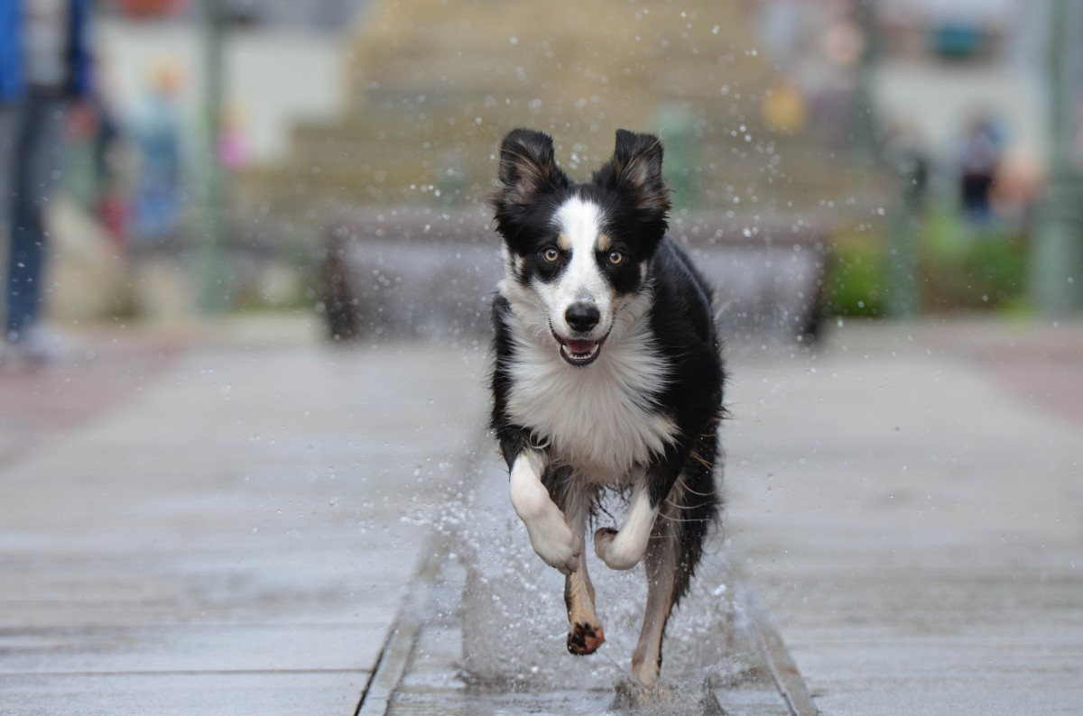 Border Collies as City Dogs